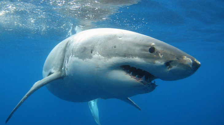 Great White Shark facing the camera