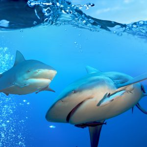 Bull shark photo of two bull sharks underwater
