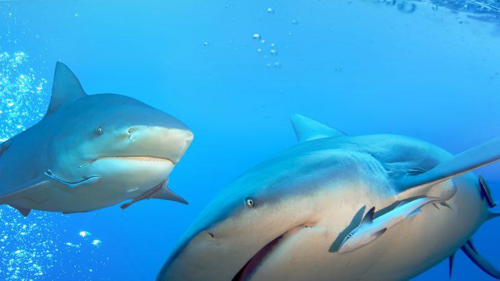 Bull sharks underwater