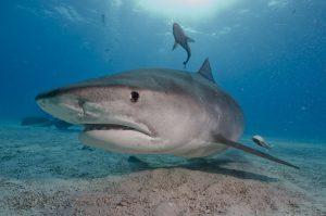 Tiger shark underwater photo