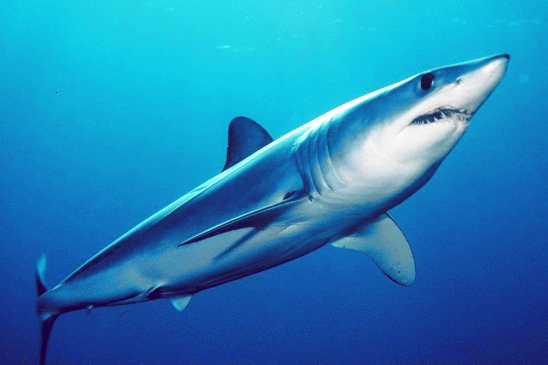 The Mako Shark underwater photo