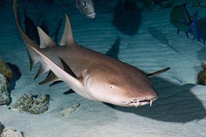 A Solitary Nurse Shark At Night