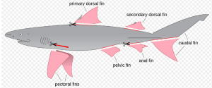 Shark Finning diagram