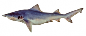 Drawing of the Northern River Shark