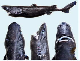 Holotype of the Ninja Lanternshark