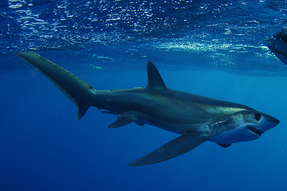 Bigeye thresher shark out in the ocean