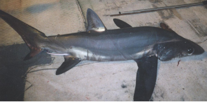 Close view of the bigeye thresher shark