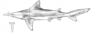 Drawing of the Daggernose shark