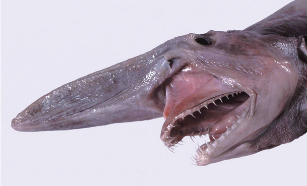 The Head Of The Goblin Shark