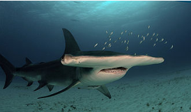 Front view of the Great Hammerhead Shark
