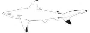 The Critically Endangered Pondicherry Shark
