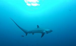 The Elusive Thresher Shark