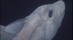 Head shot of the pointy-nose ghost shark