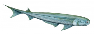 Drawing of an Acanthodian