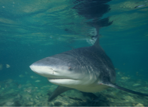 Picture of a bull shark: Bull sharks in freshwater