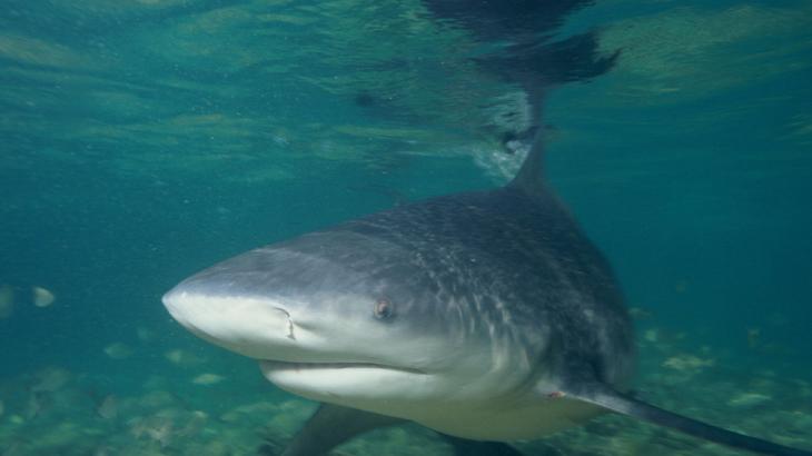 Picture of a bull shark: Bull sharks in freshwater
