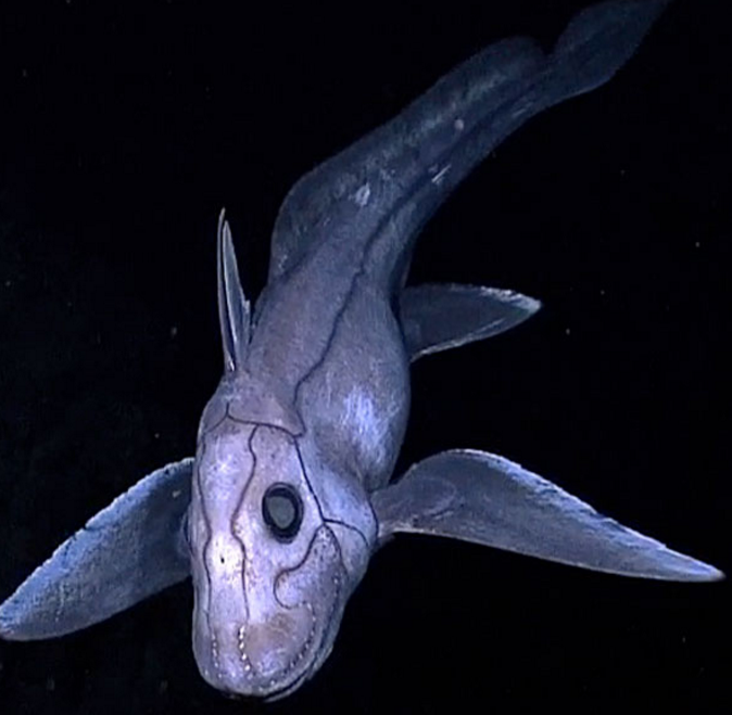 The Pointy-nose ghost shark