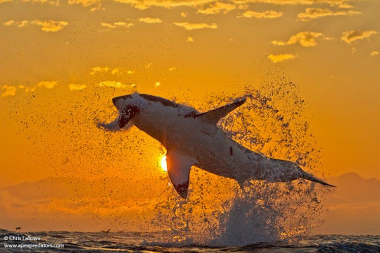 Breaching great white and seal. Real shark photos