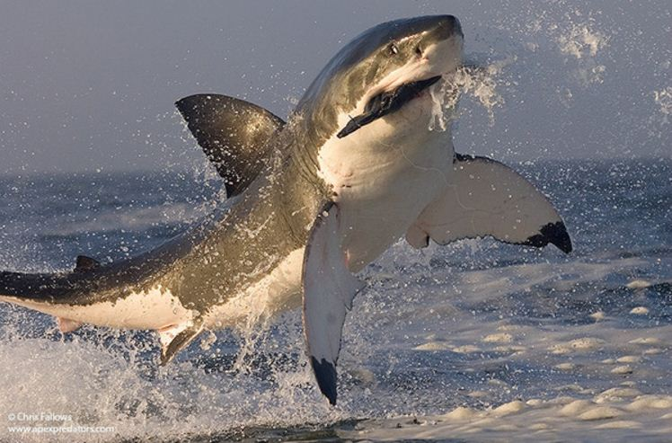 great white in full flight