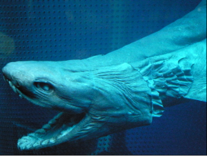 The Frilled Shark has the longest gestation period in shark reproduction