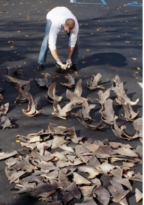 NOAA Official Counting Confiscated Shark Fins