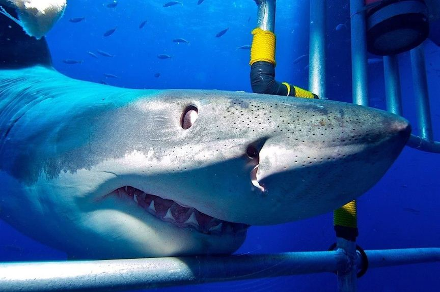 Shark and dive cage. Real shark photos