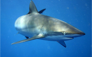 The silky shark was found in the volcano crater