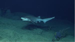 The Bluntnose Sixgill Shark