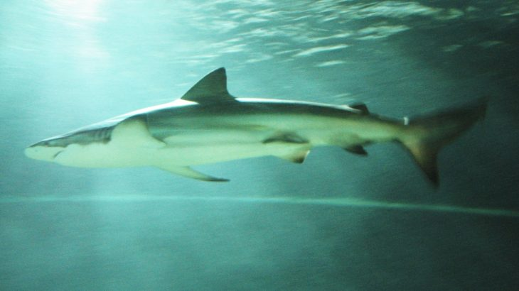 A Bronze Whaler Shark In Auckland