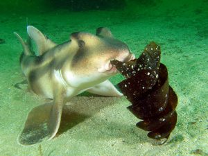 crested bull shark eating port jackson egg