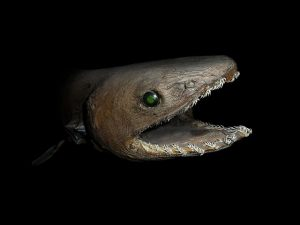 Closeup of the frilled shark