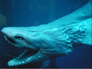Closeup of the Frilled shark