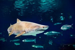 Due to its hardy nature, the sand tiger shark is a favorite of aquariums worldwide