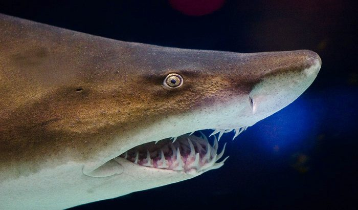 Closeup view of a sand tiger shark