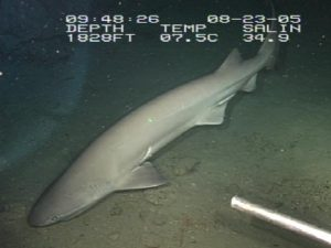 Bluntnose sixgill sharks eat the young of prickly sharks