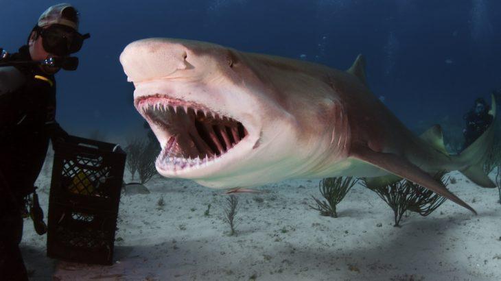 A Large Lemon Shark