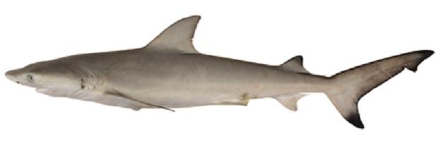 Dog-faced Water Snake: The Nervous Shark