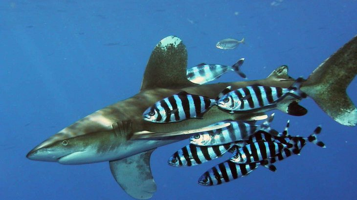 Oceanic Whitetip Shark Near Egypt