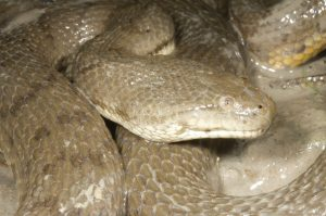 The Dog-Faced Water Snake: Nervouse Shark Food Item