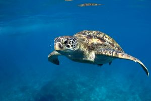 Sea Turtle: Tiger Sharks Diet
