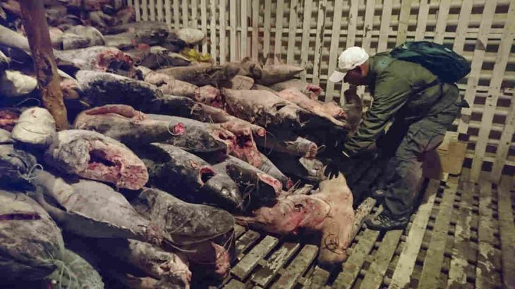 The Illegal Catch: Shark Poaching