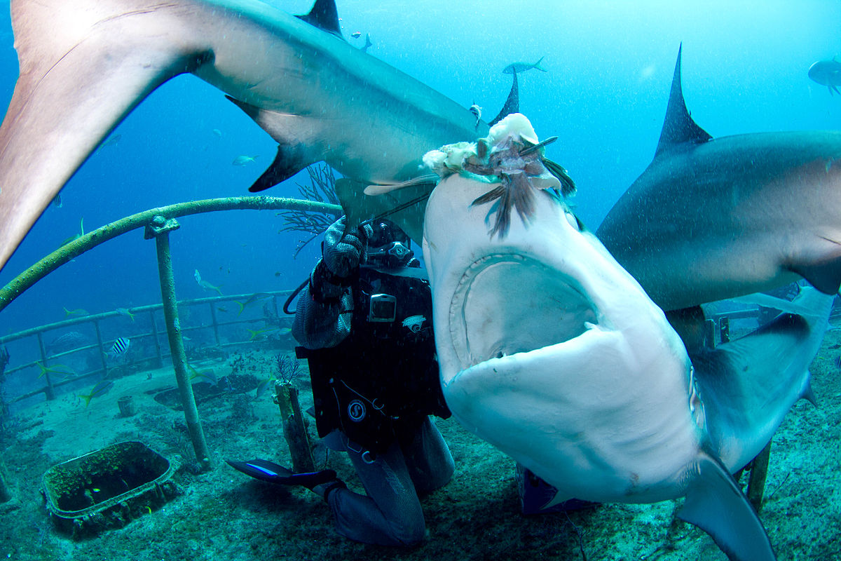 Shark Feeding Remains A Controversial Subject To Date: Caribbean Reef Shark