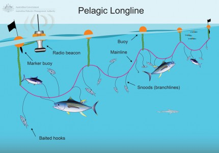 Pelagic Longlining Illustration