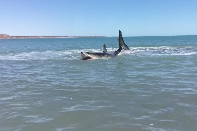 Shark Video 2017