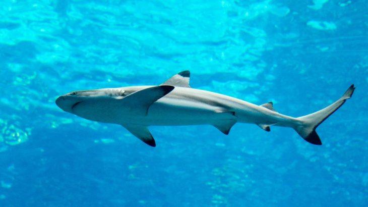 A Spinner Shark