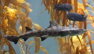 Leopard Shark ; dead sharks in SF Bay