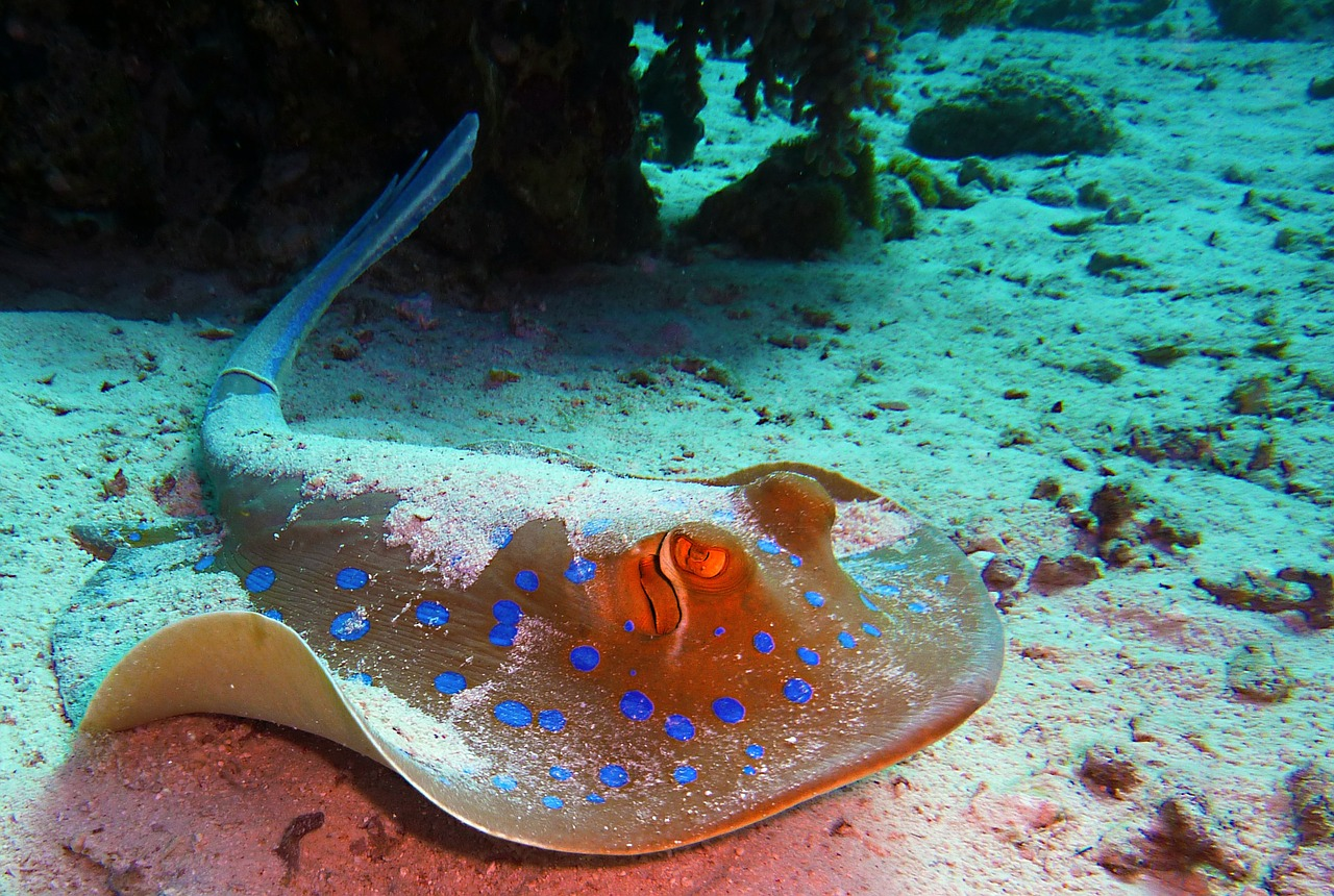 Blue-spotted Variety of Stingray.: Dangerous sea creatures