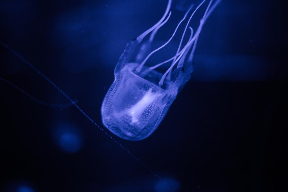 Box Jellyfish: dangerous sea creatures