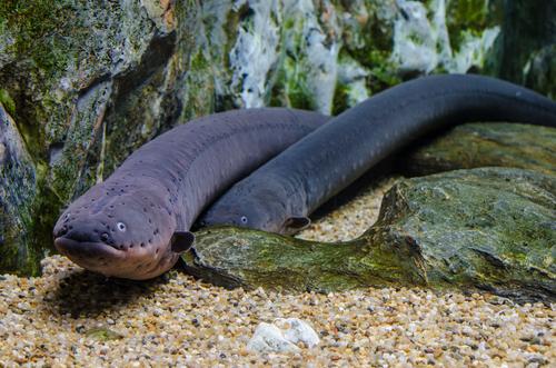 Electric eel ; most dangerous sea creatures