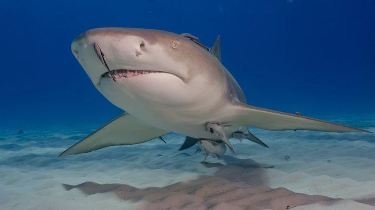 A Lemon Shark : Human attacks on sharks